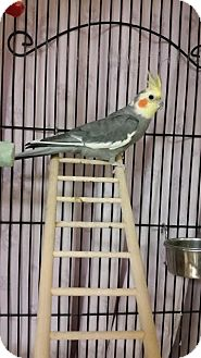 Cockatiel for adoption in Chippewa Falls, Wisconsin - Chirps