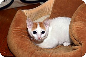 American Shorthair Kitten for adoption in Brooklyn, New York - Daisy