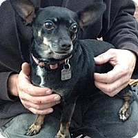 Chihuahua/Rat Terrier Mix Dog for adoption in Santa Ana, California - Mindy