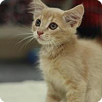 Adopt A Pet :: Marmelade - Sacramento, CA