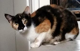 Calico Cat for adoption in Alvin, Texas - Callie *