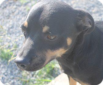 Lancashire Heeler Mix Dog for adoption in Mt Sterling, Kentucky - Trevor