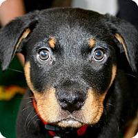 Adopt A Pet :: Big Red - Surrey, BC