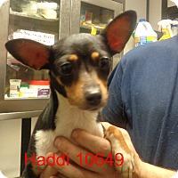 Adopt A Pet :: Haddi - baltimore, MD