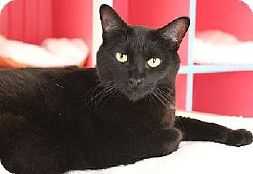 Domestic Shorthair Cat for adoption in Griswold, Connecticut - Sarah