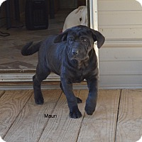 Adopt A Pet :: Mauri - Groton, MA