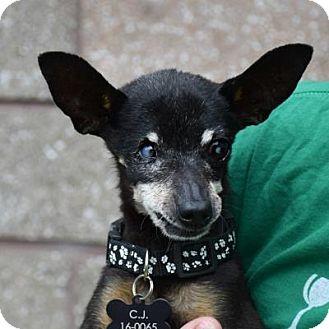 Miniature Pinscher Mix Dog for adoption in Denver, Colorado - C.J.