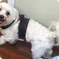 Adopt A Pet :: Harley - Oak Ridge, NJ