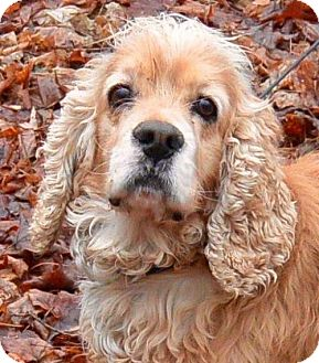 Cocker Spaniel Dog for adoption in Flushing, New York - Papo