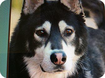 German Shepherd Dog/Husky Mix Puppy for adoption in Los Angeles, California - BERG VON BERNE