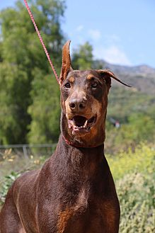 Doberman Pinscher Dog for adoption in Fillmore, California - Johnny