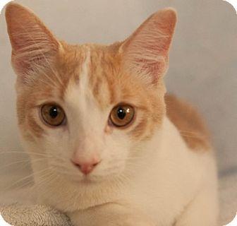 Domestic Shorthair Cat for adoption in Fremont, California - Azurite 04-4044