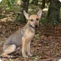 Shepherd (Unknown Type) Mix Puppy for adoption in Rexford, New York - Juli