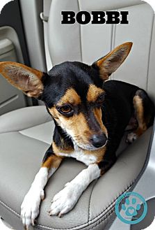 Chihuahua Mix Dog for adoption in Kimberton, Pennsylvania - Bobbi