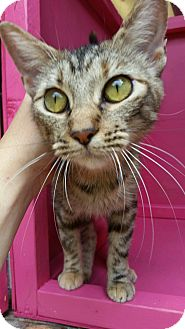 Domestic Shorthair Cat for adoption in Ocala, Florida - ARIA