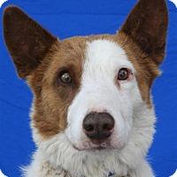 Australian Kelpie/Collie Mix Dog for adoption in Pagosa Springs, Colorado - Roscoe