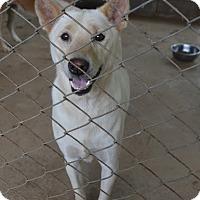 Labrador Retriever/Jindo Mix Dog for adoption in Denver, Colorado - Athos