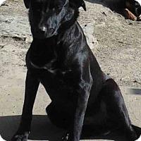 Labrador Retriever Mix Dog for adoption in Washington court House, Ohio - Dukey