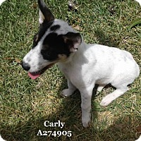 Border Collie Mix Dog for adoption in Conroe, Texas - JUJU