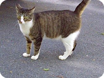 Domestic Shorthair Cat for adoption in Halifax, Nova Scotia - Shelby