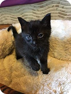 Domestic Shorthair Kitten for adoption in Mackinaw, Illinois - Ellie May