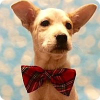 Cattle Dog/Labrador Retriever Mix Puppy for adoption in Carlisle, Pennsylvania - Corduroy