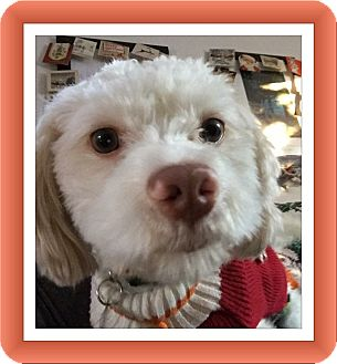 Bichon Frise Mix Dog for adoption in Tulsa, Oklahoma - Scooby - IL