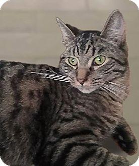 Domestic Shorthair Cat for adoption in Evans, West Virginia - Ringo