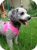 Poodle (Miniature)/Lhasa Apso Mix Dog for adoption in Boulder, Colorado - Lorenzo