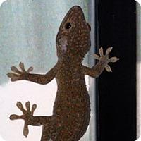 Adopt A Pet :: 2 Tokey Geckos - Quilcene, WA