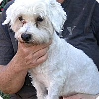 Bichon Frise Dog for adoption in Fort Lauderdale, Florida - Stevie