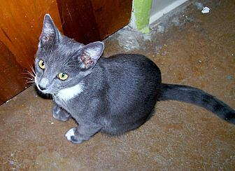 Domestic Shorthair Cat for adoption in Scottsdale, Arizona - Stasch