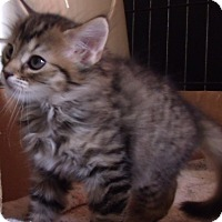 Adopt A Pet :: MALIKA - Acme, PA
