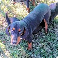 Adopt A Pet :: Gypsy - Waller, TX