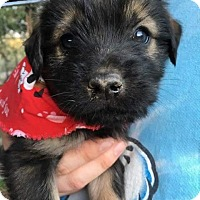 Adopt A Pet :: T Litter--arriving soon in NH! - Chichester, NH