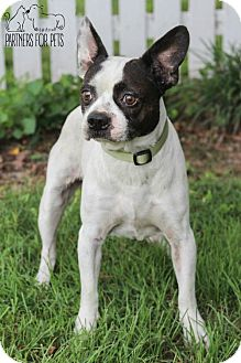Boston Terrier/Jack Russell Terrier Mix Dog for adoption in Troy, Illinois - Jack Fostered (Teresa)