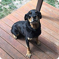 Adopt A Pet :: Ebony - Overland Park, KS