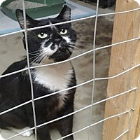 Domestic Shorthair Cat for adoption in Wakinsville, Georgia - Boyfriend