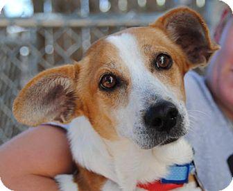 Corgi Mix Dog for adoption in Philadelphia, Pennsylvania - Buddy
