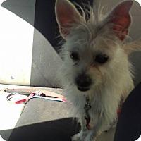 Adopt A Pet :: Maxie - Milford, CT