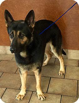 German Shepherd Dog Dog for adoption in Oswego, Illinois - Vader