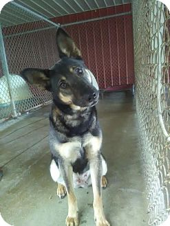 German Shepherd Dog Dog for adoption in Owenboro, Kentucky - TANK!
