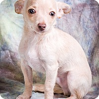 Chihuahua/Maltese Mix Puppy for adoption in Anna, Illinois - PAULI