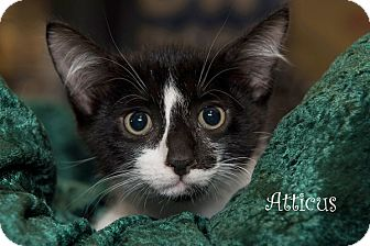 Domestic Shorthair Kitten for adoption in San Juan Capistrano, California - Atticus