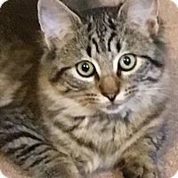 Domestic Mediumhair Kitten for adoption in Middletown, New York - Quinoa