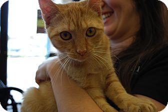 Domestic Shorthair Cat for adoption in Exton, Pennsylvania - Runyun (LV)