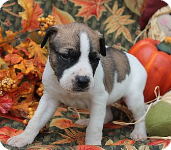Boxer/German Shepherd Dog Mix Puppy for adoption in Buhl, Alabama - Faye - PENDING
