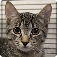 Domestic Shorthair Cat for adoption in Sarasota, Florida - Jax