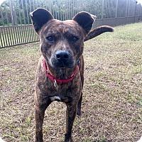 Adopt A Pet :: Maverick - Myakka City, FL