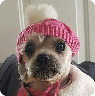 Shih Tzu/Maltese Mix Dog for adoption in Madison Heights, Michigan - LuLu